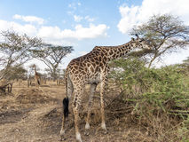 Giraffe looks for food at the trees in the serengeti Royalty Free Stock Images