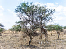 Giraffe looks for food at the trees in the serengeti Stock Photography