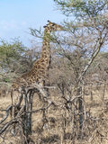 Giraffe looks for food at the trees in the serengeti Stock Photos