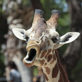 A Giraffe Looks Like It's Singing Stock Photo