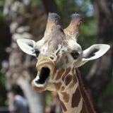 A Giraffe Looks Like It's Singing Stock Photo