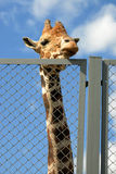 Giraffe looks on people through wire netting fence in zoo. Moscow, Russia Stock Photos