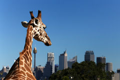 Giraffe looks to the city Royalty Free Stock Photo