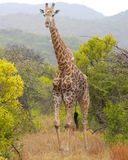 A giraffe walks towards the camera in a wilderness reserve in South Africa. A giraffe looks towards the camera in a forested and mountainous wilderness reserve stock photos