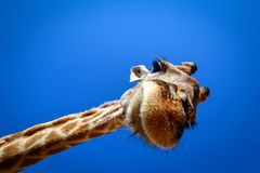 Giraffe looks in wide angle lens from above royalty free stock photography