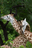 Giraffe in love Royalty Free Stock Photography