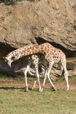 GIRAFFE LOVE. Giraffe in the savannah, long neck and curious face Royalty Free Stock Photography