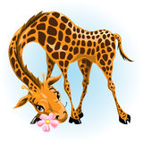 Giraffe in love Royalty Free Stock Photo