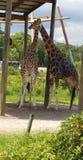 Giraffe love royalty free stock photography