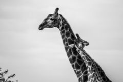 Giraffe Love. A young giraffe embraces its parent Royalty Free Stock Photography