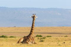 Giraffe lying down on the savanna Royalty Free Stock Photography