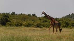 Giraffe Maasai φιλμ μικρού μήκους