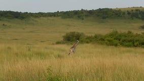 Giraffe Maasai απόθεμα βίντεο