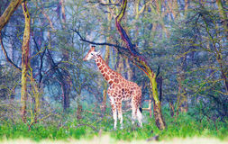 Giraffe in the magic fantastic wood Stock Photos