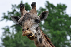 Giraffe making funny face Stock Images