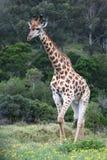 Giraffe Male Stock Photography