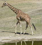 Giraffe male Stock Image