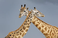 Giraffe. Male and female giraffe during courtship with dark sky in background royalty free stock photography