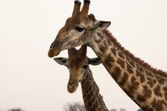Giraffe mam and her baby stock photos