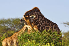 Giraffe mangeant l'Afrique Photo stock
