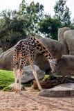 Giraffe mangeant l'herbe Images stock