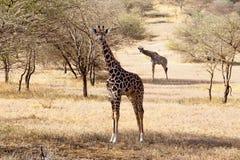 Giraffe mangeant l'herbe dans la savane africaine Image stock