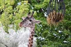 Giraffe mangeant le foin images stock