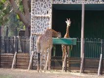 Giraffe. Manor at Zoo , Giza Cairo Egypt Stock Photos