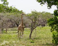 Giraffe in Africa stock images