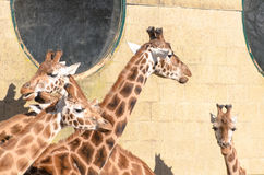 Giraffe at Marwell Stock Photography