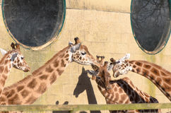 Giraffe at Marwell Stock Image