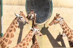 Giraffe at Marwell Stock Images