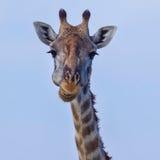 Giraffe Masai επικεφαλής πορτρέτο Στοκ Εικόνες