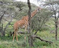 Giraffe Masai κατανάλωση Στοκ Φωτογραφία
