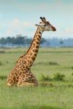 Giraffe Masai ξάπλωμα Στοκ εικόνα με δικαίωμα ελεύθερης χρήσης