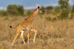 Giraffe Masai περπάτημα μόσχων Στοκ Εικόνα