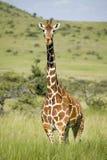 Giraffe Masai σκαλοπάτια στη κάμερα στη συντήρηση άγριας φύσης Lewa, βόρεια Κένυα, Αφρική στοκ φωτογραφίες