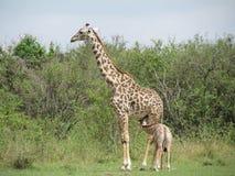 Giraffe Masai Στοκ εικόνες με δικαίωμα ελεύθερης χρήσης
