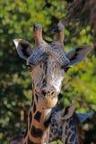 Giraffe Masai Στοκ Εικόνα