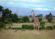 Giraffe on the Masai Mara Stock Photography
