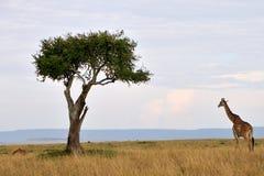 Giraffe in Masai Mara. Giraffe by lone tree in Masai Mara, Kenya, Africa Stock Image
