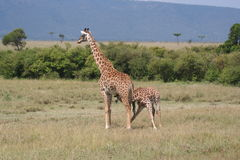 Giraffe in the Masai Mara Stock Images