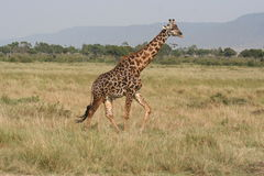 Giraffe in the Masai Mara Royalty Free Stock Photography