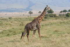 Giraffe in the Masai Mara Royalty Free Stock Images