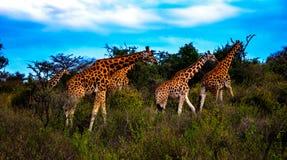 Giraffe in Masai Mara Immagini Stock