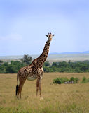 Giraffe in Masai Mara Stock Photo