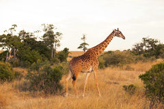 Giraffe in Masai Mara Royalty Free Stock Image