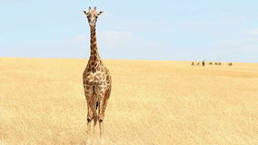 Giraffe in Masai Mara stock footage