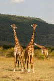 Giraffe. Masai mara Kenya africa Royalty Free Stock Photo