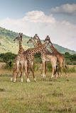 Giraffe. Masai mara Kenya africa Stock Photo